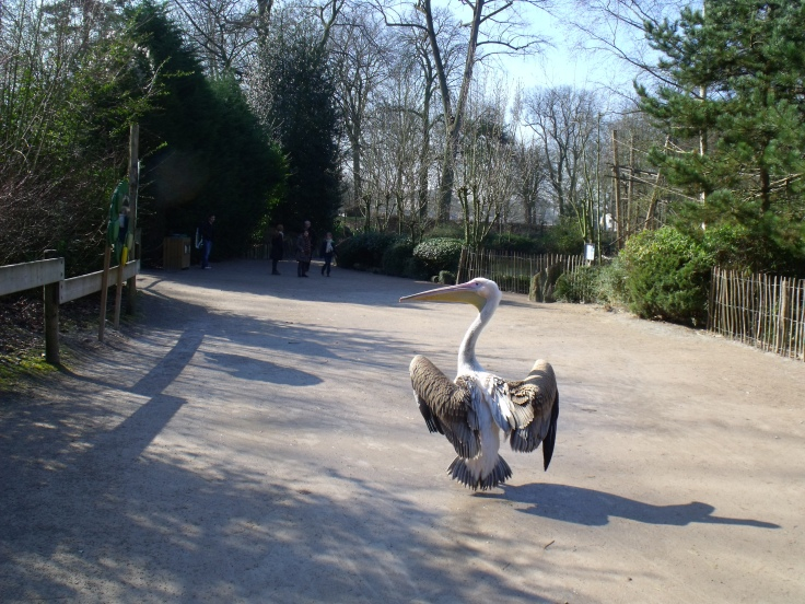 De ontsnapte pelikaan