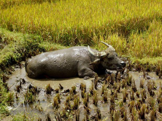 Waterbuffel Sapa