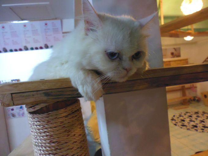 cat cafe phnom penh